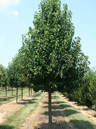 Pyrus Chantacleer - Ornamental Pear 45 ltr