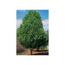 Load image into Gallery viewer, Pyrus Cleveland Select - Ornamental Pear