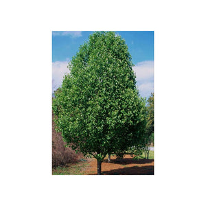 Pyrus Cleveland Select - Ornamental Pear