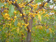 Load image into Gallery viewer, Malus Golden Raindrops - Crabapple 25 ltr