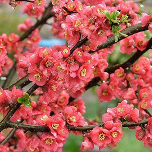 Flowering Peach - Magnifica Red 25 ltr