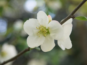 Chaenomeles - Flowering Quince - White 140mm