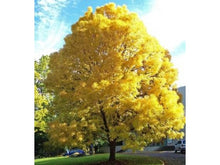 Load image into Gallery viewer, Fraxinus - Golden Ash 45 ltr