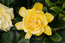 Load image into Gallery viewer, Gardenia - Gold Magic 140mm