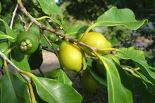 Load image into Gallery viewer, Guava - Yellow Cherry