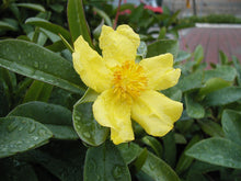 Load image into Gallery viewer, Hibbertia Scandens 140mm