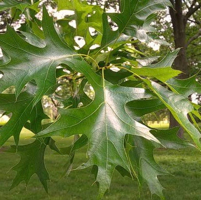 Quercus Palustrus - Pin Oak 25 ltr