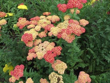 Load image into Gallery viewer, Achillea Strawberry Seduction