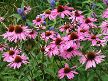 Load image into Gallery viewer, Echinacea Magnus Superior