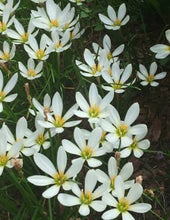 Load image into Gallery viewer, White Autumn Crocus (Zephyranthes)
