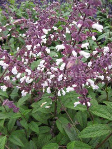 Salvia Waverley