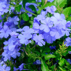 Plumbago Royal Cape