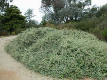 Load image into Gallery viewer, Creeping Saltbush - Rhagodia prostrate
