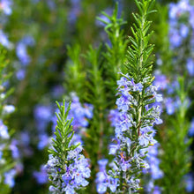 Load image into Gallery viewer, Rosemary Tuscan Blue