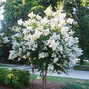 Crepe Myrtle - White Natchez 14cm pot