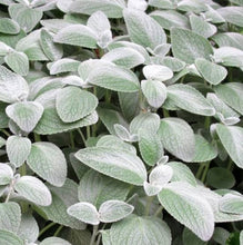 Load image into Gallery viewer, Plectranthus - Silver Spurflower