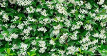 Load image into Gallery viewer, Star Jasmine