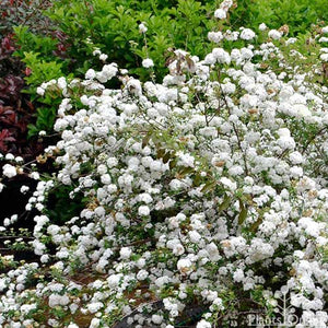 Double White May Bush