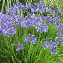 Load image into Gallery viewer, Agapanthus Peter Pan