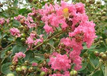 Load image into Gallery viewer, Lagerstroemia Hopi Pink - Crepe Myrtle 25 ltr