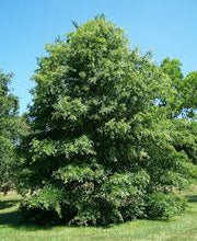 Load image into Gallery viewer, Quercus Palustrus - Pin Oak 25 ltr