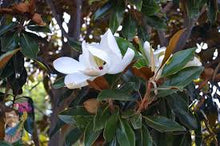 Load image into Gallery viewer, Magnolia - Little Gem 45 ltr