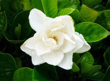 Load image into Gallery viewer, Gardenia - Magnifica 140mm