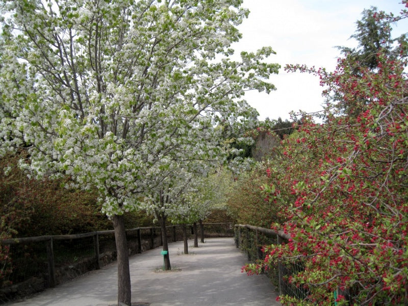 Pyrus Nivalis - Ornamental Pear