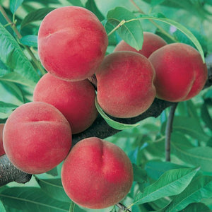 Peacherine 25ltr