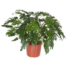 Load image into Gallery viewer, Philodendron- Xanadu 25 ltr