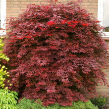 Load image into Gallery viewer, Acer - Atropurpureum 25ltr
