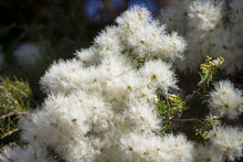 Load image into Gallery viewer, Melaleuca Linifolia - Snow in Summer 25 ltr