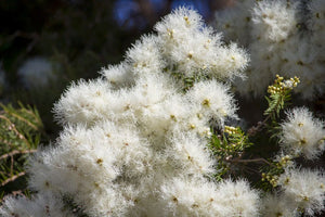 Melaleuca Linifolia - Snow in Summer 25 ltr