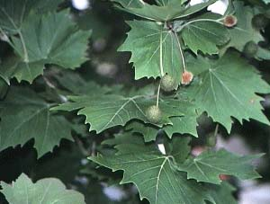 Plantanus X Hybrida - London Plane Tree