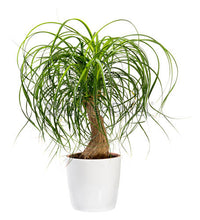 Load image into Gallery viewer, Pont Tail Palm - Beaucarnea Recurvata 140mm