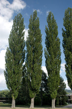 Load image into Gallery viewer, Poplar Nigra Italica - Lombardy 25 ltr