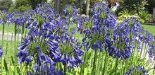 Load image into Gallery viewer, Agapanthus - Purple Cloud 140mm