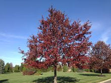 Load image into Gallery viewer, Quercus Coccinea - Scarlet Oak