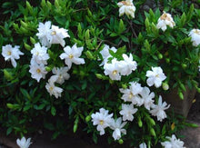 Load image into Gallery viewer, Gardenia - Radicans 140mm