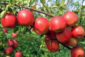 Apple - Super Dwarf Red Fuji