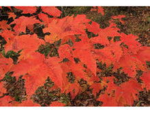 Load image into Gallery viewer, Acer - Rubrum Red Maple 140mm