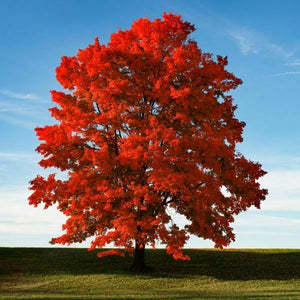 Acer - Rubrum Red Maple 140mm