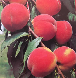 Peach - Red Noonan 25 ltr