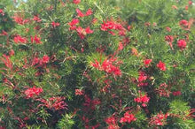 Load image into Gallery viewer, Grevillea - Scarlet Sprite 140mm