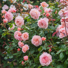 Load image into Gallery viewer, A Shropshire Lad