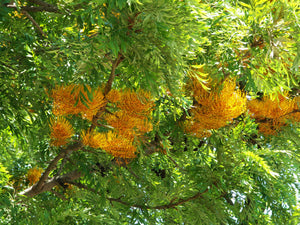 Grevillea - Robusta Silky Oak 140mm