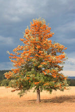 Load image into Gallery viewer, Grevillea - Robusta Silky Oak 140mm