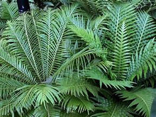 Load image into Gallery viewer, Silver Lady Fern - Blechnum Nudum 140mm