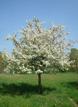 Load image into Gallery viewer, Malus Sugar Tyme - Crabapple 25 ltr