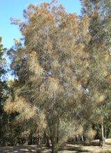 Load image into Gallery viewer, Casuarina Cunninghamiana - River She Oak 140mm